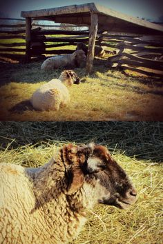 Sheep at Mount Vernon, Virginia