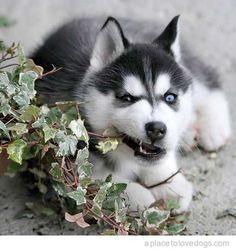 Love Huskies!!!