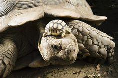 Mama and baby tortoise - Attila Balazs / AP #cute #animals