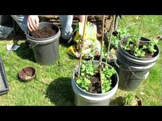 This video shows you how to quickly plant peas in 5 gallon paint containers. You can plant peas twice yearly in the Spring and Fall. Container planting is simple, cheap and a very effective way to grow peas. Please check out my other videos to see how the peas mature.