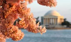 National Cherry Blossom Festival in Washington, D.C. - Starts today and this year's extended five-week celebration commemorates the 100th anniversary of the planting of the first Japanese cherry trees along the Tidal Basin.