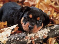 Rottweiler dog photo | rottweiler puppies 2013 rottweiler puppies 2013 rottweiler puppies ...