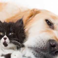 Kitten and Golden Retriever Prove That Love is Real