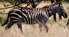 another abundistic zebra. His stripes are so wide that he appears to be backwards---black with white stripes instead of white with black stripes.