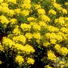 Alyssum montanum Mountain Gold - Mountain Gold Alyssum Perennial. Evergreen. Zones 2-9. Great for hell strip!