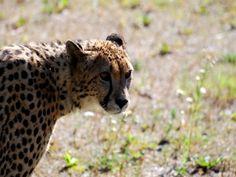 Il gatto pescatore, il gatto marmorizzato, il leopardo nebuloso: trovate curiosi…