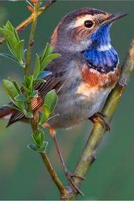 Blue Throated Flycatcher - pretty little birdie Kinds Of Birds, All Birds, Little Birds, Love Birds, Pretty Birds, Beautiful Birds, Animals Beautiful, Cute Animals, Animals Amazing