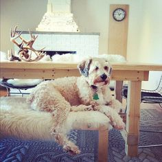 George is a soft-coated Wheaton Terrier