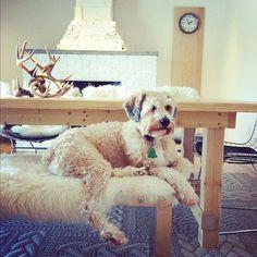 Soft-coated wheaton terrier.