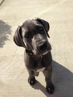 How much does a Great Dane Puppy Cost? Click the picture to read