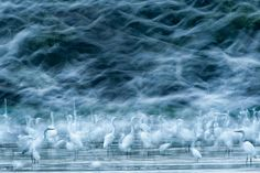 Honorable Mention, Nature - Réka Zsirmon - 'Flying Egrets'.   40 Astonishing Photos That Won Awards In 2013
