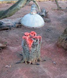 meerkats keeping warm