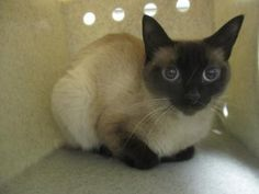Check out Billa's profile on AllPaws.com and help her get adopted! Billa is an adorable Cat that needs a new home. https://www.allpaws.com/adopt-a-cat/siamese/6340326?social_ref=pinterest