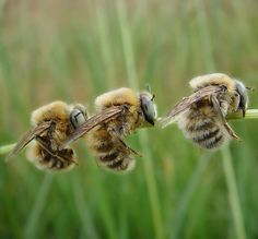 Three's company by Camerar, via Flickr   ^ sleeping bees ^