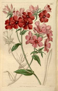 10448 Phlox drummondii Hook. / Curtis's Botanical Magazine, vol. 62 [ser. 2, vol. 9]: t. 3441 (1835) [n.a.]