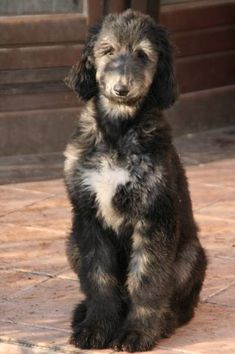 Afghan Hound Puppy, Hound Puppies, Young Adults, Afghans, I Love Dogs, Best Friends, Passion, Future, Cats