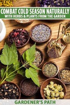 Herbs, flowers, and fruits have been used throughout the ages for soothing, natural relief from cold, cough, and flu symptoms, and many can be grown in your own garden. Join us now for a look at the plant based medicinals to combat cold season naturally with herbs. #herbalcoldremedies #coldremedies #gardenerspath Herbal Cold Remedies, Natural Cold Remedies, Herb Recipes, Medicinal Herbs, Drying Herbs, Natural Medicine, Natural Healing, How To Stay Healthy, Health And Wellness