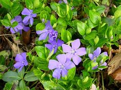 plantes d'ombre à fleurs pourpres - les pervenches sont un bon choix