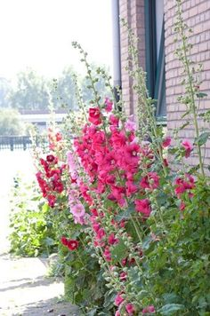 Hollyhocks  these grow like crazy but their my favorite
