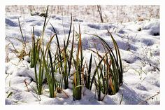 Vado a comprare il pane, fiori e piante di montagna sotto la neve