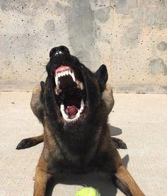 #germanshepardguarddog