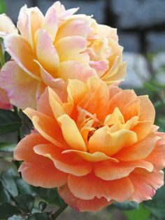 Rose hybrid tea 'Queen Bagatelle'