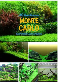 Micranthemum Monte Carlo - Easy and favourite foreground and carpeting plant. Create a huge impact from minimalist fish tank to intense aquascape.