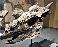 "Reconstructed Stygimoloch skull at the Museum für Naturkunde, Berlin. Stygimoloch (meaning ""demon from the Styx"") is a genus of pachycephalosaurid dinosaur from the end of the Cretaceous period, roughly 66 million years ago. Dinosaur Bones, Dinosaur Fossils, Prehistoric Creatures, Prehistoric Wildlife, Extinct Animals, Animal Skulls, Skull And Bones, Rocks And Minerals, Archaeology"