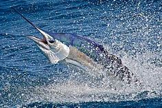 Sailfish are red hot in the Keys especially in the winter to early spring months