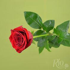 Rio Roses - Freedom