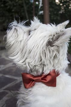 #dog #bowtie ideal for #wedding. When your dog must be elegant bowpawtie is the solution