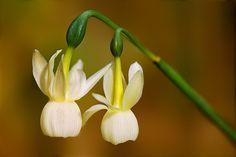 Narcissus triandrus pallidulus: angel's tears