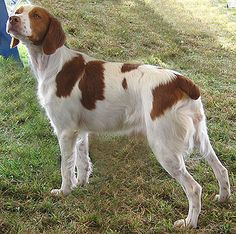 french brittany dog photo | brief look at a French Brittany Spaniel and an American Brittany ...