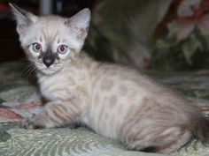charcoal snow bengal