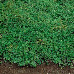 Bunddækkeplanter tilbydes i Ølstykke nær Roskilde