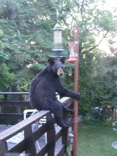 """Yeah, what are you looking at?"". Feeling a little disappointed because he couldn't reach the seeds inside our squirrel proof (and apparently, bear proof) bird feeder? If you have some pictures to share, click on the photo and post them on our Facebook wall!"