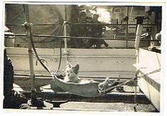 WW2 Naval Photo. Ships Cat in Hammock.