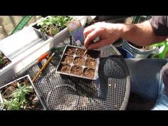 Growing lavender from seed