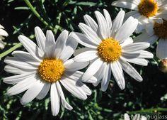 20140216.daisies.2192.jpg