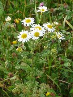 Chamomile: Pictures, Flowers, Leaves and Identification. Chamomile leaves are edible and delicious.