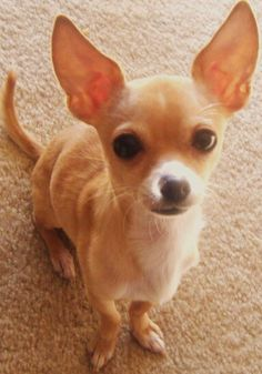#Chihuahua Calypso Puppy Dog Dogs Puppies