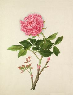 Watercolour on rice paper of plant identified as Paeonia suffruticosa from one of four bound albums of paintings by anonymous Chinese artists purchased by the Royal Horticultural Society in 1912. Date: c.19th