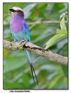 Lilac-breasted Roller,   I'm going to put these colors together soon.