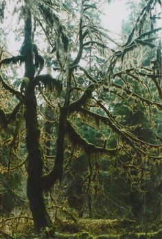 fragile-eggshell-mind:  Hoh Rainforest, WA