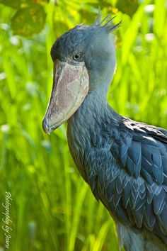 """""""the shine"""" by Jeannette Rud, via 500px. For those wanting to know bird this is, it is a Shoebill"""