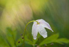 Ranunculus by Elaine S on 500px