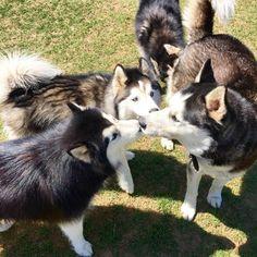 Husky love at Joe Station Dog Park! - Tulsa, OK - Angus Off-Leash #dogs #puppies #cutedogs #dogparks #tulsa #oklahoma #angusoffleash