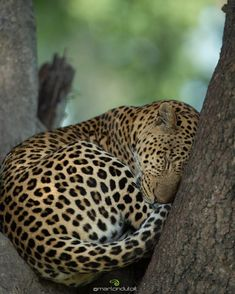 "Marlon du Toit (@marlondutoit) on Instagram: ""A male leopard rests within the fork of a Sausage Tree in the heart of the Okavango Delta. He spent most of the afternoon here & woke just before sunset to stretch, drink water & ready himself for a night of hunting."" #WildEyeSA #OkavangoDelta #Africa"