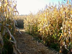 Corn Mazes <3 my best friend won't be here to go with me :(
