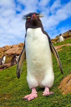 Rockhopper penguin, Carcass Island in the Falkland Islands archipelago